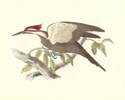 The Crested Woodpecker