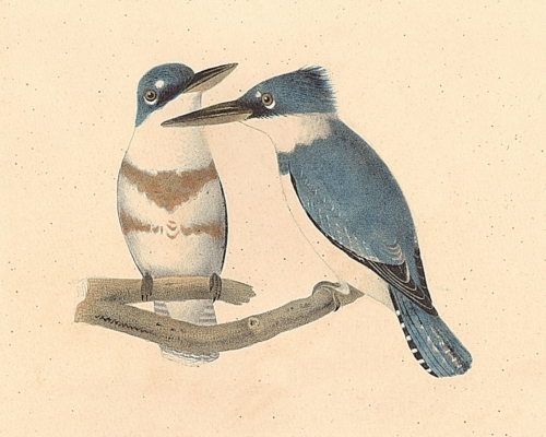 The Belted Kingfisher