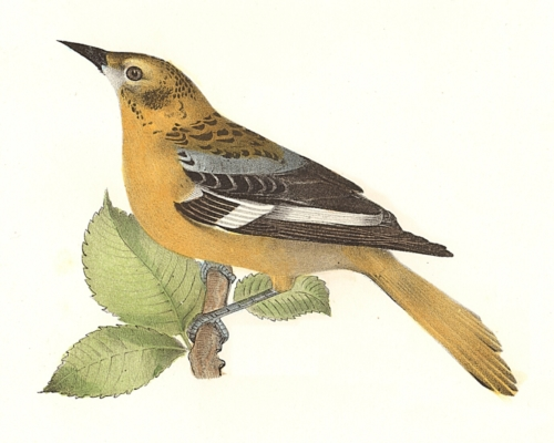 The Golden Oriole, female