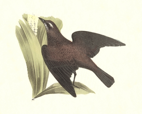 The Rusty Crow Blackbird