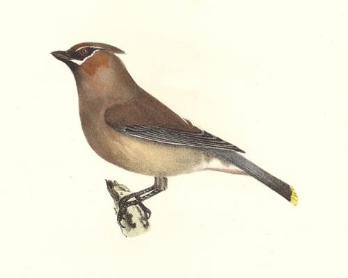 The Cedar-bird