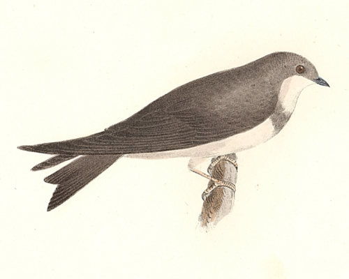 The Bank Swallow