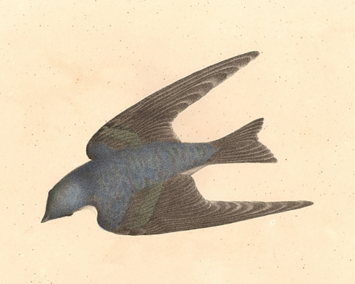 The White-bellied Swallow
