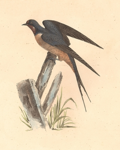 The Barn Swallow