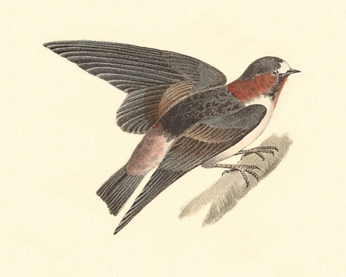 The Cliff Swallow