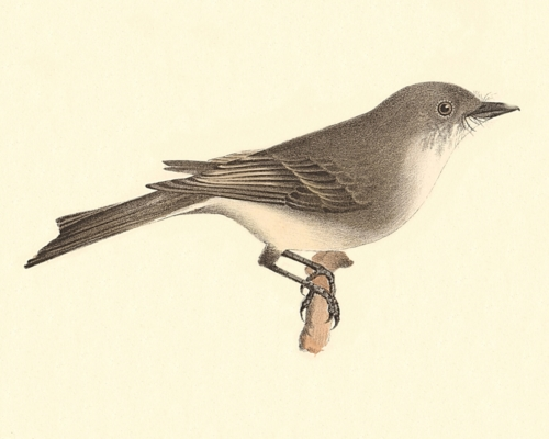 The Phoebe-bird