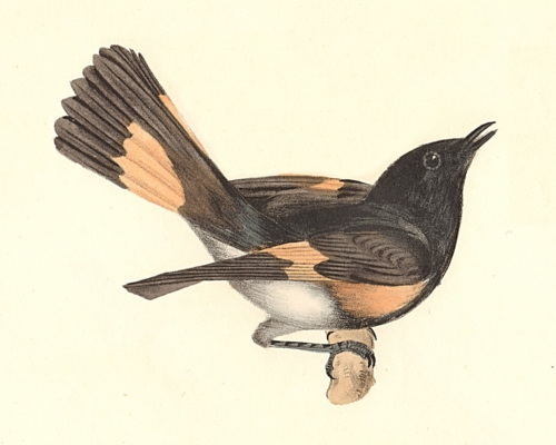 The American Redstart