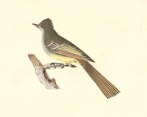 The Great-crested Kingbird