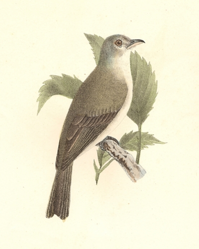 The Warbling Greenlet