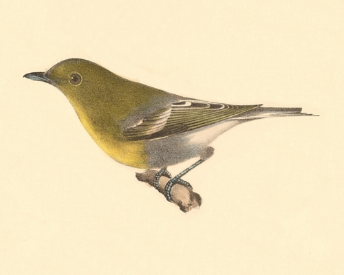 The Yellow-throated Greenlet