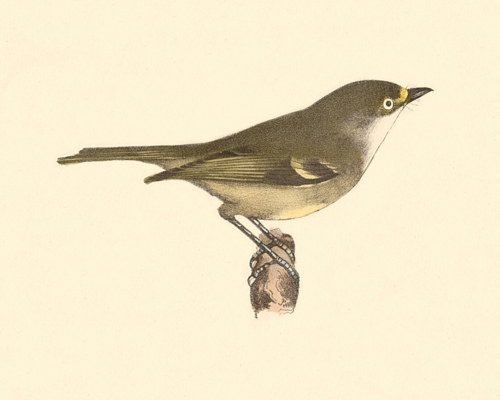 The White-eyed Greenlet