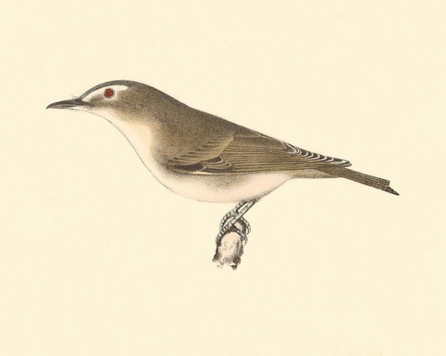 The Red-eyed Greenlet