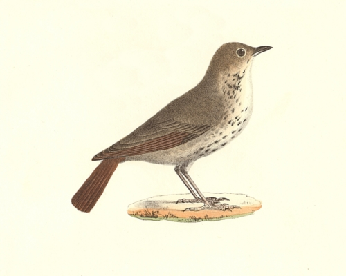 The Hermit Thrush