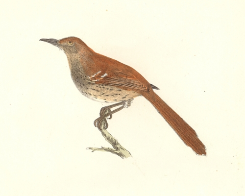The Brown Thrush