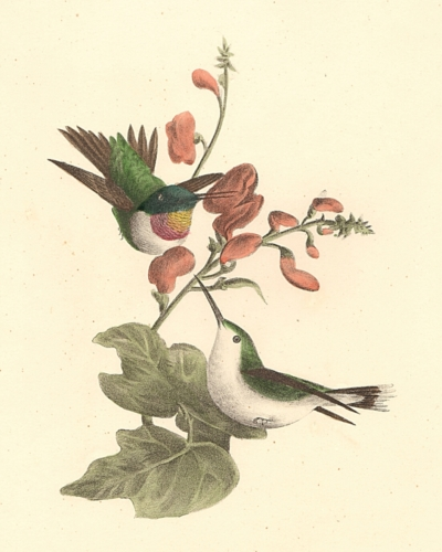 he Red-throated Hummingbird, male and female