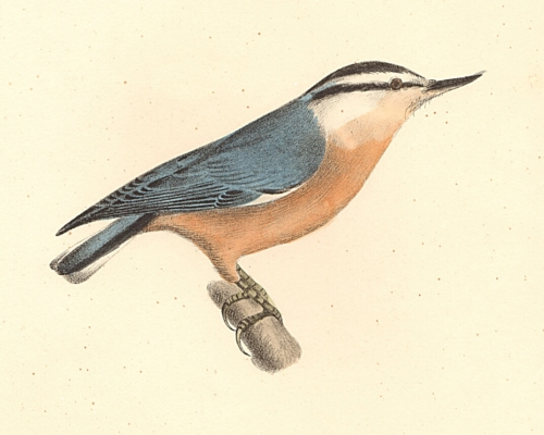 The Red-bellied Nuthatch