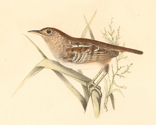 The Short-billed Wren