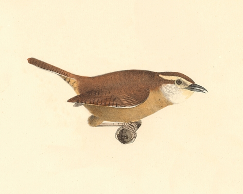 The Mocking Wren