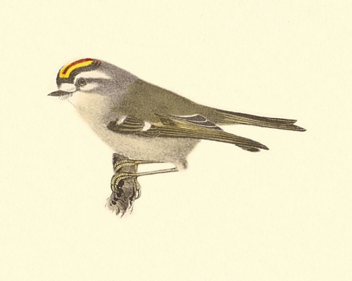 The Golden-crested Kinglet