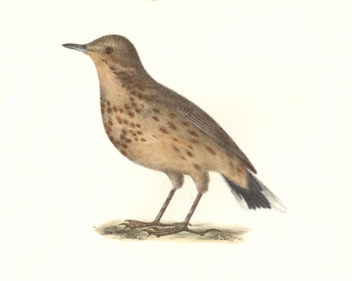 The American Titlark