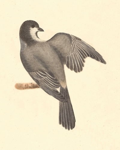 The Blackcap Tit