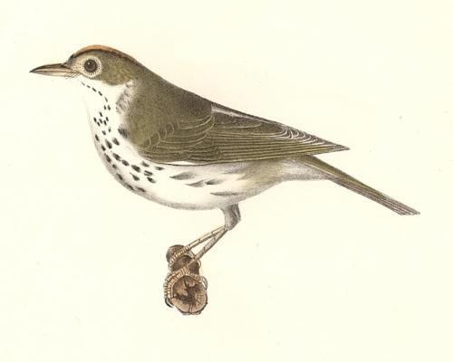 The Oven-bird