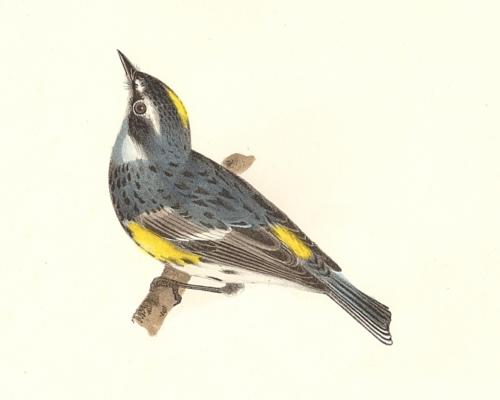 The Myrtle-bird