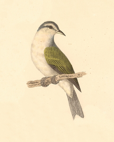 The Tennessee Warbler
