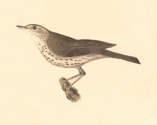 The New-York Water Thrush