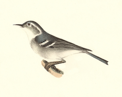 The Blue-grey Warbler