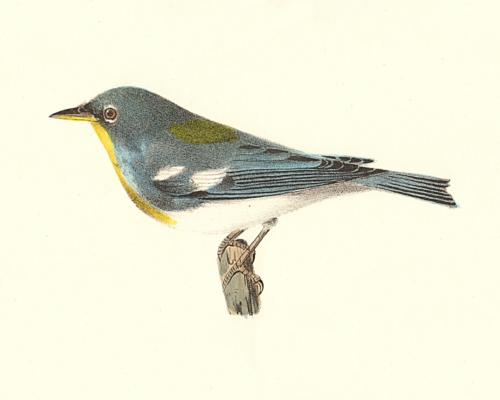 The Blue Yellow-backed Warbler