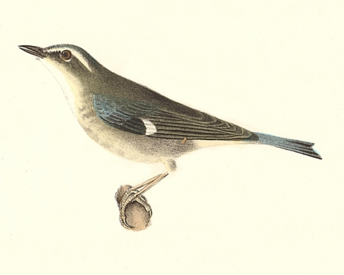 The Black-throated Blue Warbler