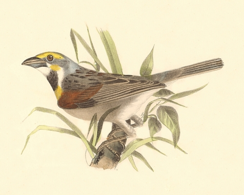 The Black-throated Bunting