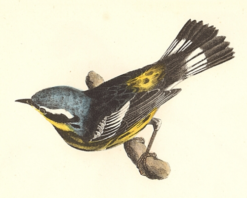 The Spotted Warbler