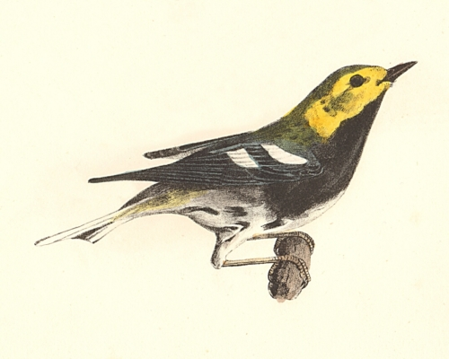 The Black-throated Green Warbler