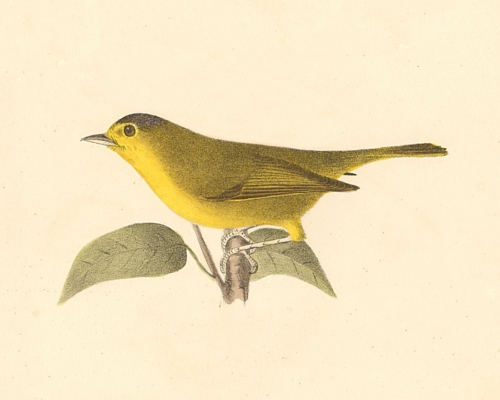 The Green Black-capped Warbler