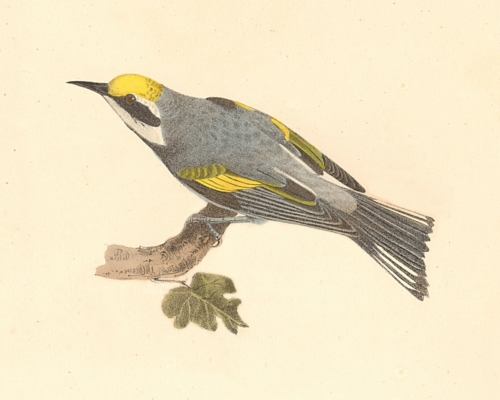 The Golden-winged Warbler