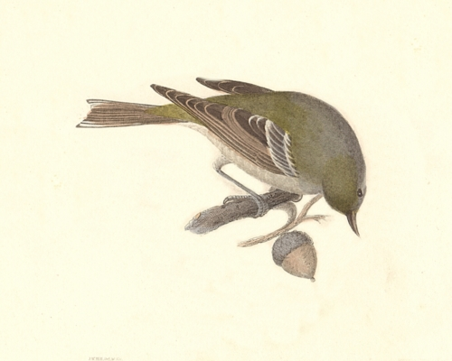 The Pine Warbler