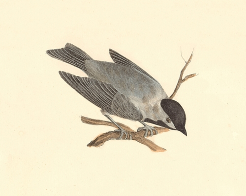 The Carolina Tit