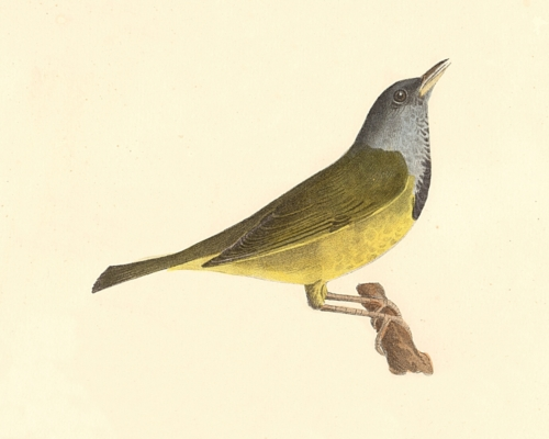 The Mourning Warbler