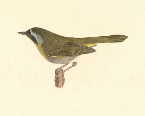 The Yellow-throat