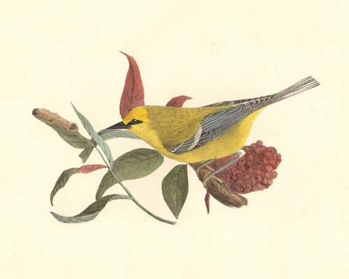 The Blue-winged Warbler