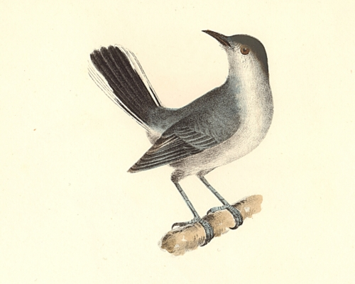 The Blue-grey Gnatcatcher