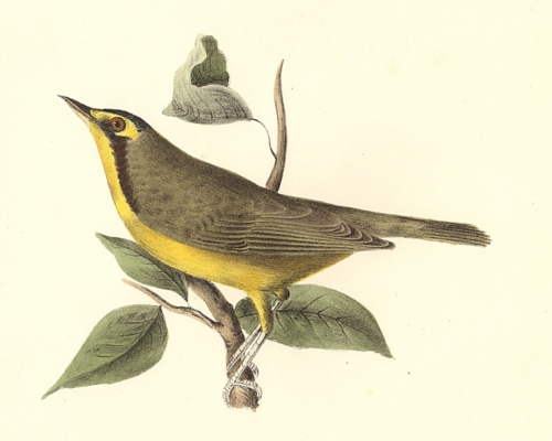 The Kentucky Warbler