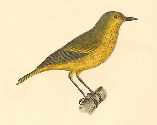 The Summer Yellowbird