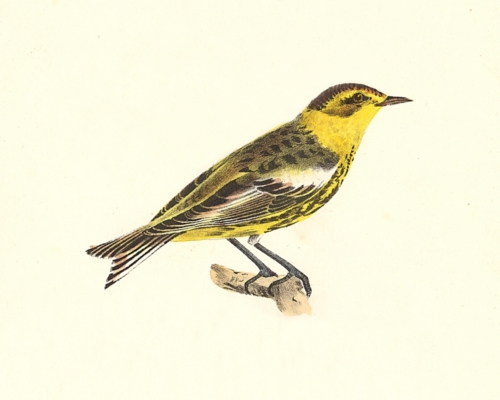 The Cape-May Warbler