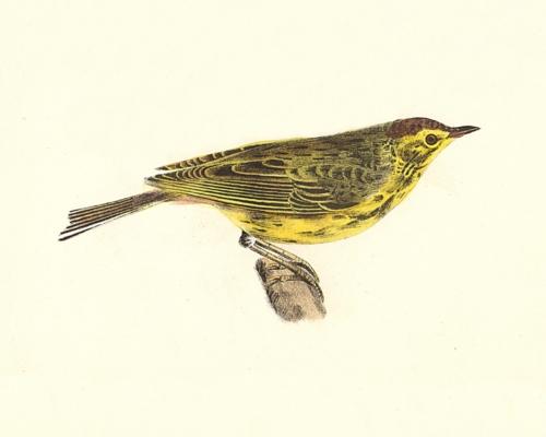 The Nashville Warbler