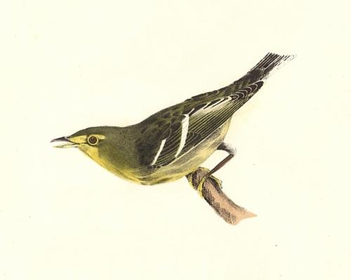 The Hemlock Warbler