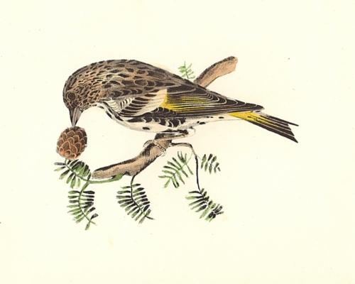 The Pine Finch