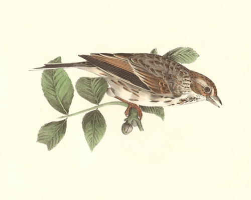 The Bay-winged Sparrow